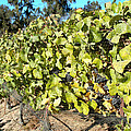 Grapes On The Vine by Barbara Snyder
