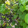 Grapes On The Vine by George Pedro