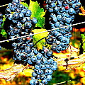Grapes On The Vine by Kay Gilley