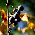 Grapes On The Vine No.2 by Neal Eslinger