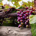 Grapes On The Vine by Ron Pate