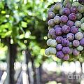 Grapes On Vine 2 by Gal Eitan