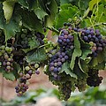 Grapes On Vine by FL collection