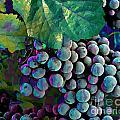 Grapes Painterly by Peter Piatt