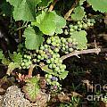 Grapevine. Burgundy. France. Europe by Bernard Jaubert