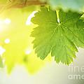 Grapevine Leaves by Konstantin Sutyagin