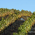Grapevines by Bob Phillips