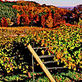 Grapevines In Vineyard, Traverse City by Panoramic Images