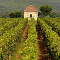Grapevines. Premier Cru Vineyard Between Pernand Vergelesses And Savigny Les Beaune. Burgundy. Franc by Bernard Jaubert