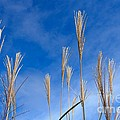 Grass Against A Blue Sky by Lucy Raos