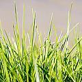 Grass Blades by Tim Hester