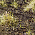 Grass Clumps In Lava by Peter J Sucy