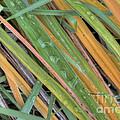 Grass Droplets by Deborah Smolinske