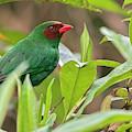 Grass-green Tanager by Juan Jose Arango