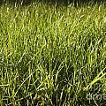 Grass by Tim Hester