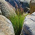 Grasses In Oasis On Borrego Palm Canyon Trail In Anza-borrego Desert Sp-ca by Ruth Hager