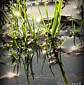 Grasses In Water by Leone Lund