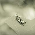 Grasshopper - Dreamers Garden Series by Marco Oliveira