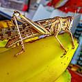 Grasshopper by Lik Batonboot