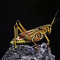 Grasshopper Portrait. Blue Cypress Lake by Chris  Kusik