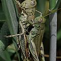 Grasshoppers In Love by Lowell Monke