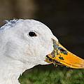 Grassy-bill Duck by Susie Peek