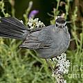 Gray Catbird by Anthony Mercieca