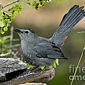 Gray Catbird Drinking by Anthony Mercieca