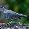 Gray Catbird Dumetella Carolinensis by Anthony Mercieca