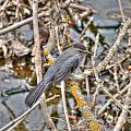 Gray Catbird by M Dale