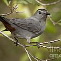 Gray Catbird by Meg Rousher