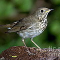 Gray-cheeked Thrush Catharus Minimus by Anthony Mercieca