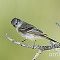 Gray Flycatcher by Anthony Mercieca