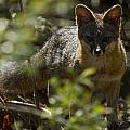 Gray Fox In The Woods by Phil Johnston