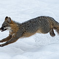 Gray Fox Jumping Through The Snow by Dan Friend