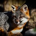 Gray Fox by Karol Livote