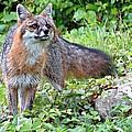 Gray Fox by MTBobbins Photography