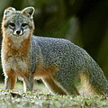 Gray Fox On Alert by Myrna Bradshaw