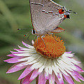 Gray Hairstreak And Straw Flower by David and Carol Kelly