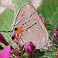 Gray Hairstreak Butterfly by Donna Brown