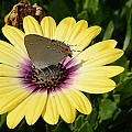 Gray Hairstreak Butterfly  by Jeanne May