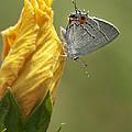 Gray Hairstreak Butterfly by Kathy Clark