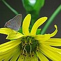 Gray Hairstreak Butterfly by MTBobbins Photography