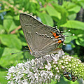 Gray Hairstreak Butterfly - Strymon Melinus by Mother Nature