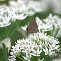 Gray Hairstreak On White Blossoms by Living Color Photography Lorraine Lynch