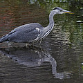 Gray Heron And Reflection by Sven Brogren