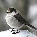 Gray Jay 1 by Tania Morris