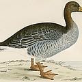 Gray Lag Goose by Beverley R. Morris