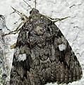 Gray Owlet Moth by Joshua Bales