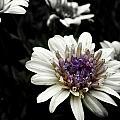 Gray Petals by Kathy Barney